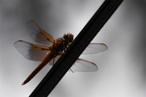 DRAGONFLY_3a